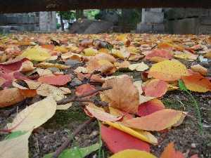 青山墓地の落葉