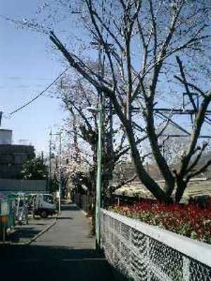 駅の桜2011