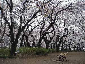 ソヨソヨ桜