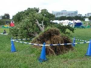 立川の根こそ木