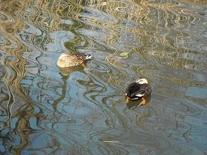鴨の水掻き