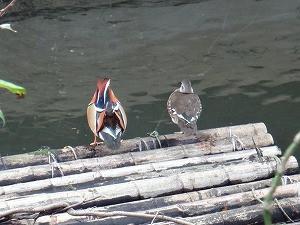 10月25日お池のオシドリ夫婦