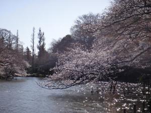 3月21日の桜 春分の翌日