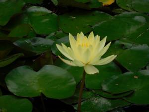 ひょうたん池のスイレン