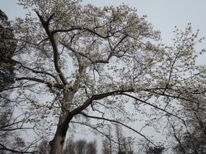 池のほとりの横綱級のコブシの木。今年はコブシの花が元気です。桜が咲くまで頑張っています。